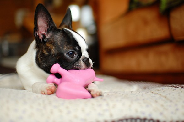 Foto di cuccioli e esemplari adulti di Boston Terrier
