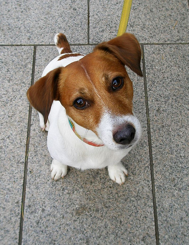 Jack russel e jack russel terrier 1 9 jack russel e for Carattere jack russel