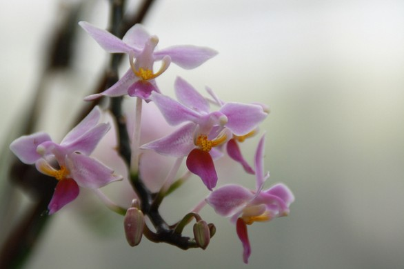 Curare le orchidee for Orchidee in casa