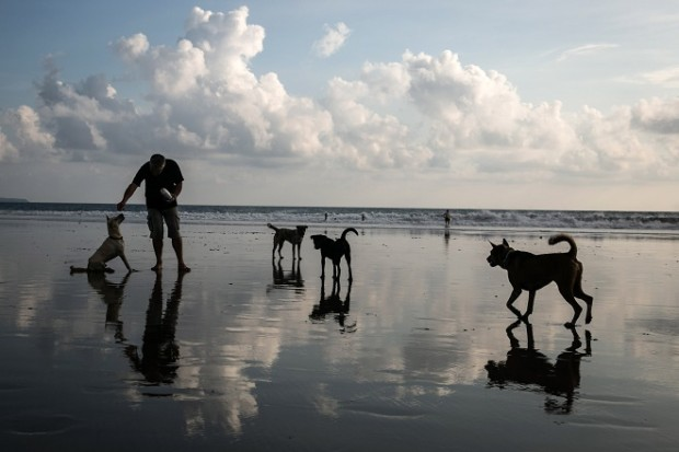 SEMINYAK, BALI, INDONESIA - APRIL 20: A tourist plays with a dog at Seminyak Beach on April 20, 2015 in Seminyak, Bali, Indonesia. A three-month vaccination drive has been launched in Bali with the aim of inoculating as many of the island's dogs against rabies as possible. Thousands of stray dogs have become a threat to the tourism industry since rabies arrived in 2008, but measures to cull them have caused a rolling debate and controversy. Bali Governor Made Mangku Pastika urged residents to help out across the island, saying that rabies is increasing and that they have run out of money to provide residents with vaccinations and treatments to fight the disease. (Photo by Agung Parameswara/Getty Images)
