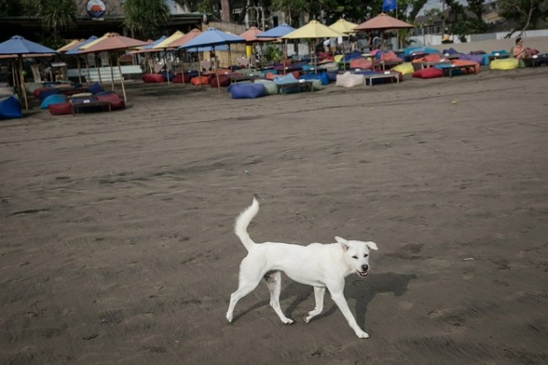 SEMINYAK, BALI, INDONESIA - APRIL 20: A dog strolls at Seminyak Beach on April 20, 2015 in Seminyak, Bali, Indonesia. A three-month vaccination drive has been launched in Bali with the aim of inoculating as many of the island's dogs against rabies as possible. Thousands of stray dogs have become a threat to the tourism industry since rabies arrived in 2008, but measures to cull them have caused a rolling debate and controversy. Bali Governor Made Mangku Pastika urged residents to help out across the island, saying that rabies is increasing and that they have run out of money to provide residents with vaccinations and treatments to fight the disease. (Photo by Agung Parameswara/Getty Images)